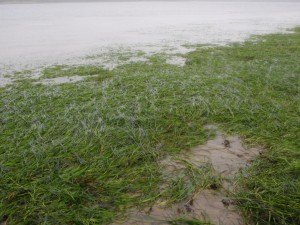 Intertidal eelgrass at low tide
